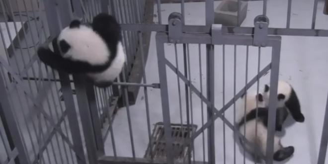 Δείτε το μικρό Πάντα να κάνει τον Σπάιντερμαν (βίντεο)