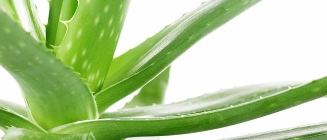 Αλόη το 'θαυματουργό' φυτό!