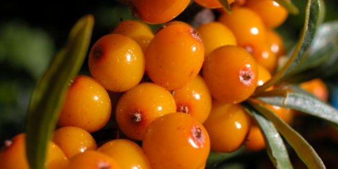 """Ιπποφαές ένας """" δυναμίτης ενέργειας"""" το φυτό που σου προσφέρει 190 θρεπτικά στοιχεία!!!"""